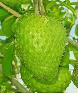 Graviola – fructul ce lupta impotriva cancerului